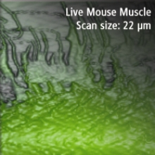 200807-live-mouse-muscle-afm-microscopy